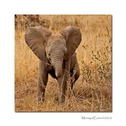 Baby Elephant - Amboseli NP - 2