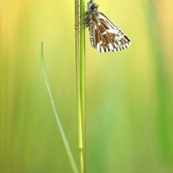 Aardbeivlinder - Pyrgus malvae
