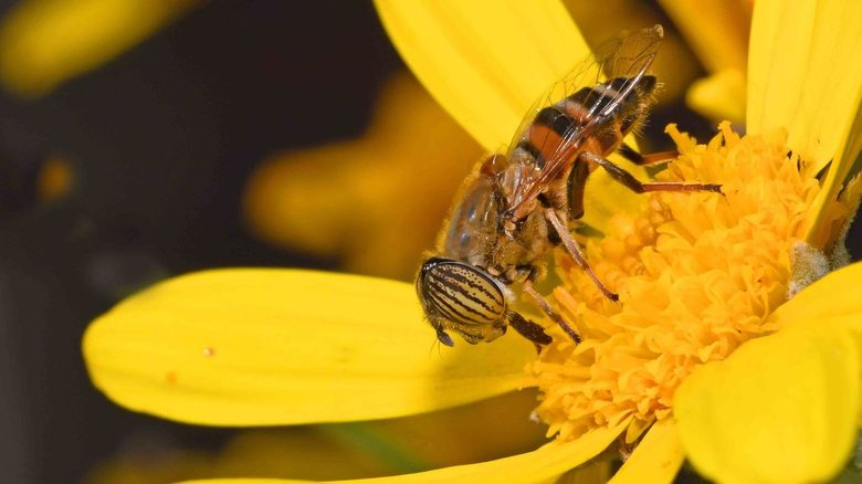 hoe verzinnen zij het.... - De naam van deze zweefvlieg is echt een open deur: <br /> Zij heet zweefvlieg met gestreepte ogen!<br /> Ook voor Spanje