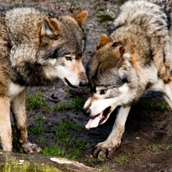 WIlde wolven