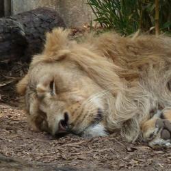 Leeuw houdt siesta