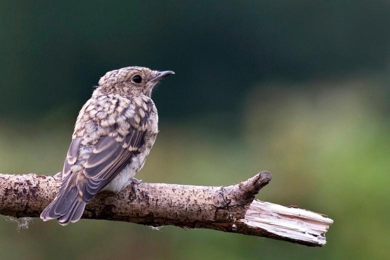 Jonge roodborst? - Zag deze vogel in een moestuin in Giethoorn. Ik vermoed dat het een jonge roodborst is... andere suggesties?
