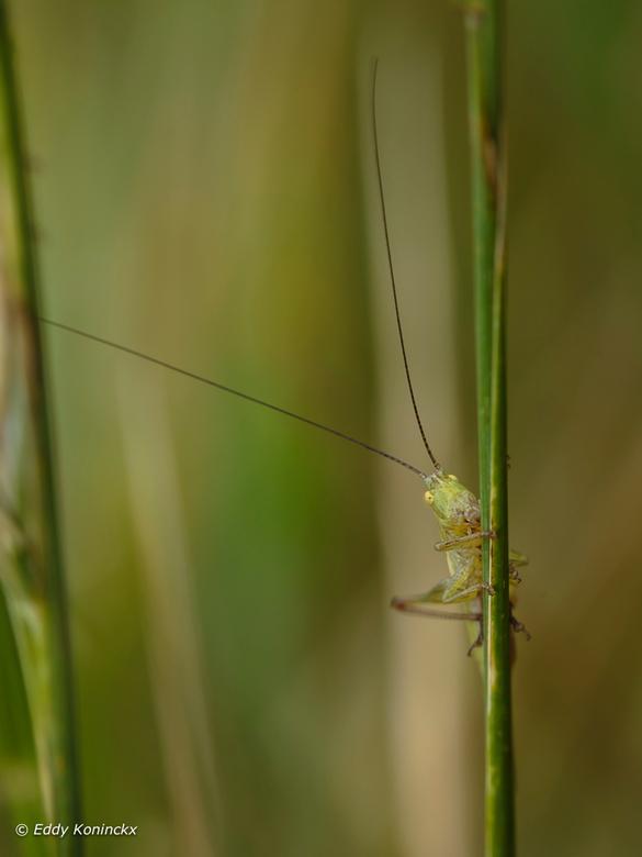 20170716_SPRINKHAAN_6850De Sikkelsprinkhaan (Phaneroptera falcata)