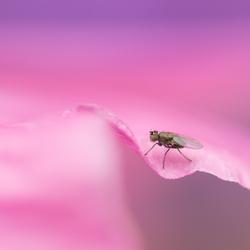 klein vliegje