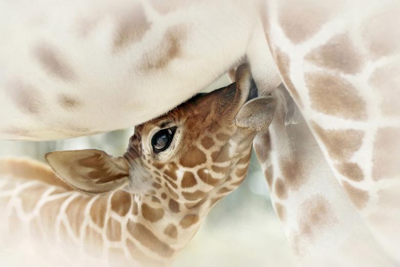 Thirsty - Baby giraffe &#039;Nzuri&#039;, drinkend.....<br /> Artis ~Zoo