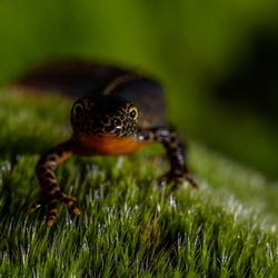Alpenwatersalamander (3)