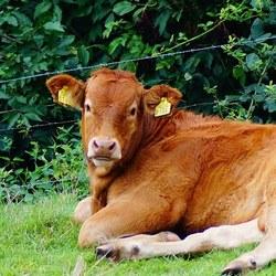 en nog een koe