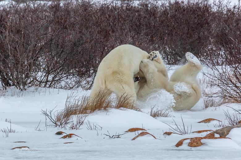 Churchil IJsberen stoeien 3 - Nee niet kietelen, net kinderen, geweldig