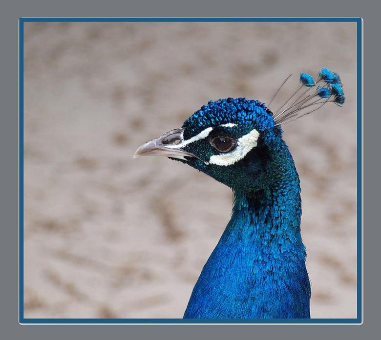 Pauw  ( man ) -  nog een  vogel uit het Asserbos  waar  ze allerlei vogels en dieren  voor de kinderen huisvesten   gr bets