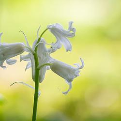 Witte boshyacint
