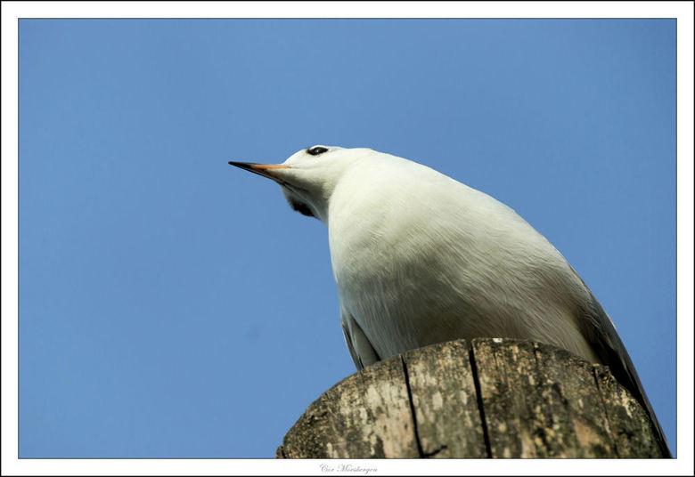 Just checking - Om de een of andere reden is het makkelijker om vogels te benaderen als ze wat hoger zitten. <br /> <br /> Deze meeuw zit op een met