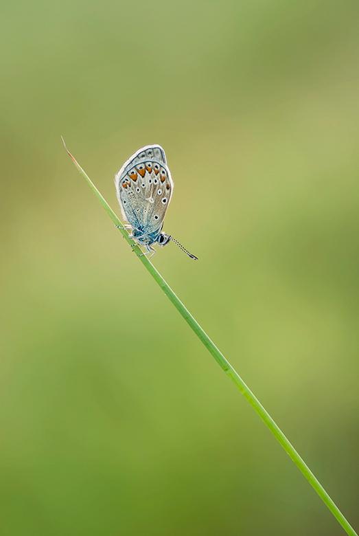 Icarusblauwtje - Dit verse icarusblauwtje twee weken terug op de foto mogen zetten.