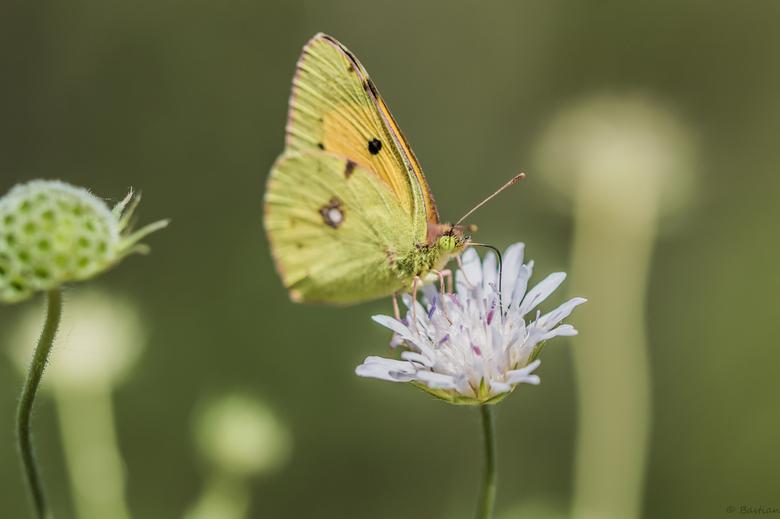Oranje luzernevlinder-4 - Ook weer een vlinder die ik in Nederland nooit gezien heb, maar op Corfu vliegen ze regelmatig rond. Dit moet de oranje luze