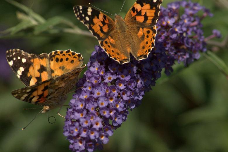 vlinderstruik achtertuin -