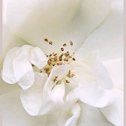 Schneeflocke Rosa