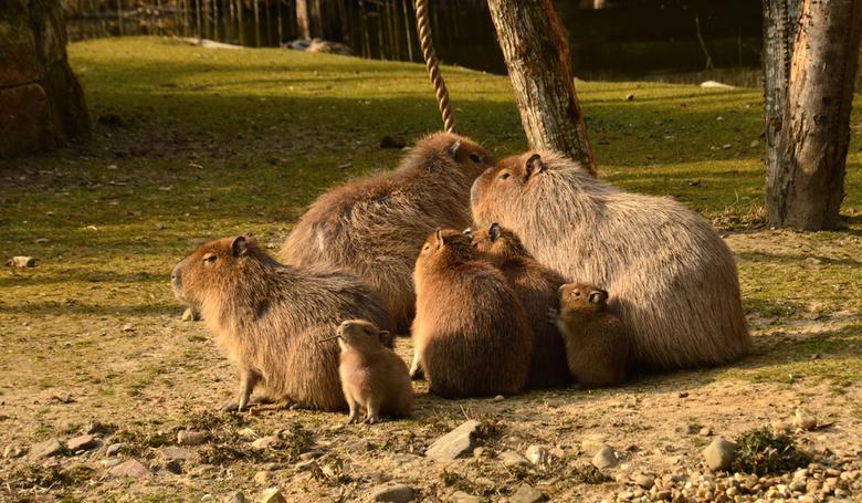 Allemaal familie - De familie Capibara. De kleintjes zijn pas drie weken oud.<br /> <br /> Bedankt voor de gewaardeerde reacties en de antwoorden op