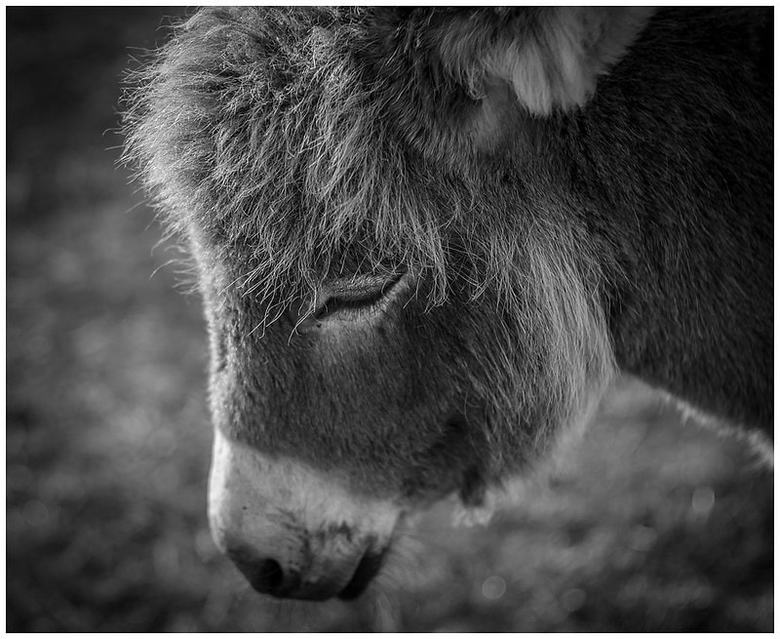 Donkey - Stond lekker te dromen tijdens wandeling  in Heemskerker duingebied