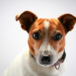 Portret van hond in studio