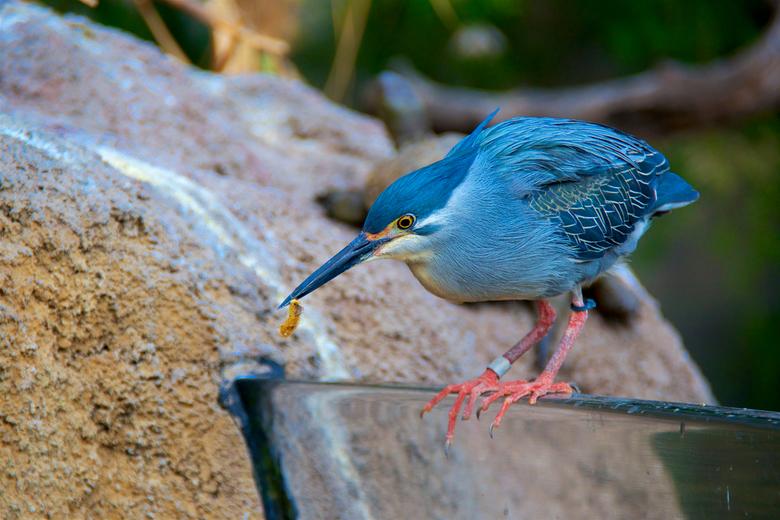 Groene reiger - Ook genomen in de dierentuin in Valencia, de kwak, was druk met takjes, voedsel om het vrouwtje te paaien.<br /> <br /> gr hans