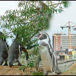 pinguins aan de wandel............