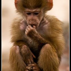 Baby baviaantje