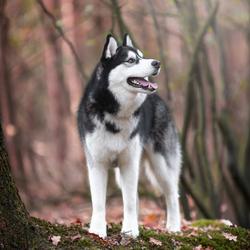 Husky Odin