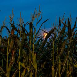 Maan tussen het mais