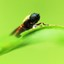 Schizophora Diptera (Harige huisvlieg)
