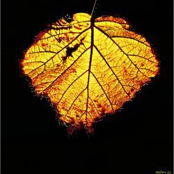 Gouden braamblad in de herfst.....