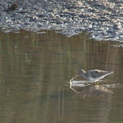 tureluur in het water