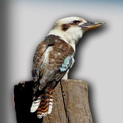 Australische kookaburra.