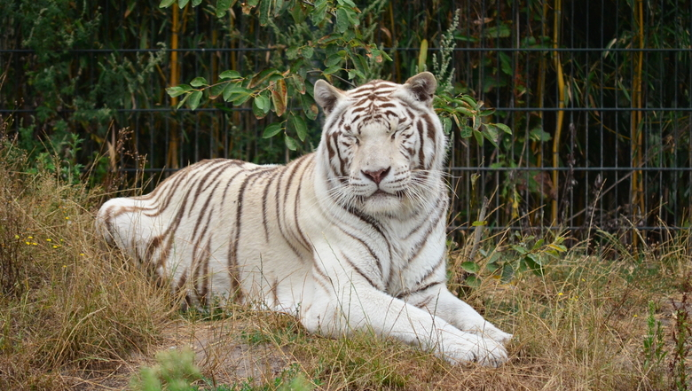 Sleeping White Tiger - A beautiful white tiger takes a small nap in the grass<br /> <br /> Its a lazy day at the Overloon Zoo