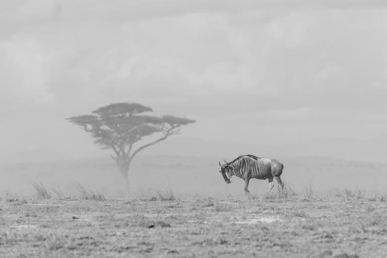 The loner - Een gnoe dwaalt alleen over de dorre vlakte van Amboseli