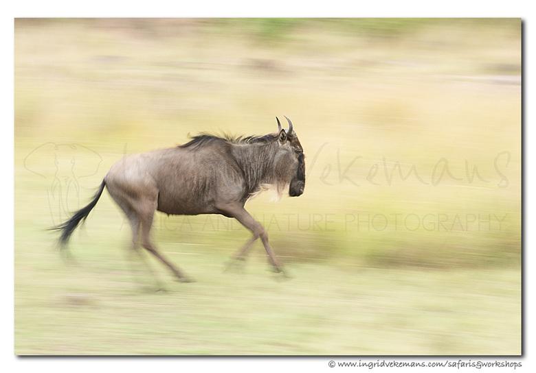 Running Wild - RUNNING WILD - Masai Mara, Kenia<br /> <br /> Je moet er soms wat geduld voor hebben, maar als er één gnoe begint te rennen, gaan ze