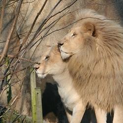 Enprofiel witte leeuwen