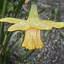 Narcis-Foto en Paint Dick A.Otten-DAO Fotoarchief