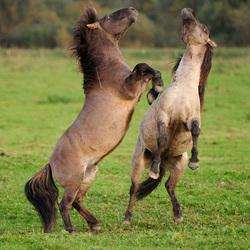 Steigerende Konikpaarden. jpg