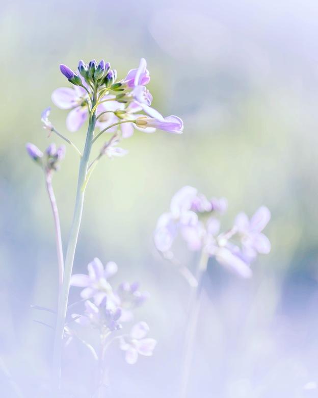 Soft spring - Ook de pinksterbloemen zijn er weer in grote getale