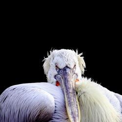 Portret van de pelikaan