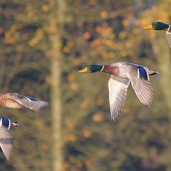 Duck Invasion!