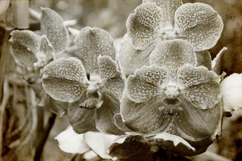 orchidee - orchidee Vintage