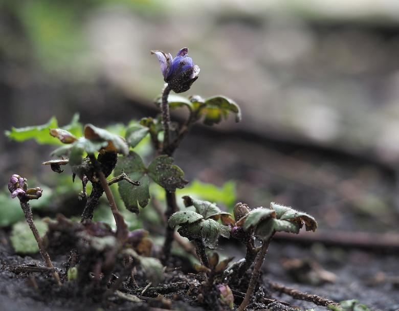 Anemoontje.... - De Start van het  Voorjaar,<br /> Heel pril laat  hij zijn kleurtje  alweer zien.