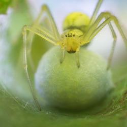 Moeder spin met eiercocon
