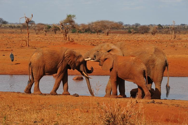 Roze olifanten, Kenia