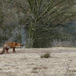 vos bij het water