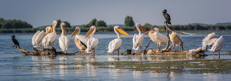 Pelikanen - In de Donaudelta kun je pelikanen en veel andere vogels zien.