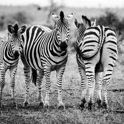 Familie Zebra