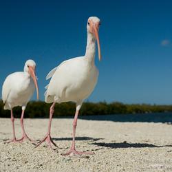 Witte ibissen met de groothoek