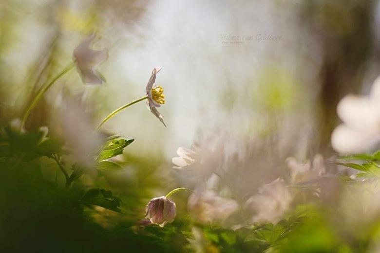 Sprookjesbos - mijn favoriete lentebloemetje... wat een pracht, ❤️ op deze schatjes.