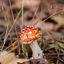 herfst paddenstoel zonder kabouters